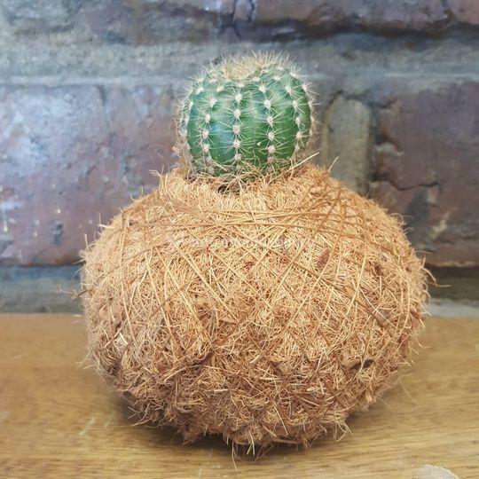 Kokedama con cactus