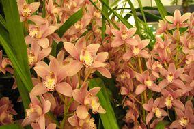 Cymbidium Orquídeas