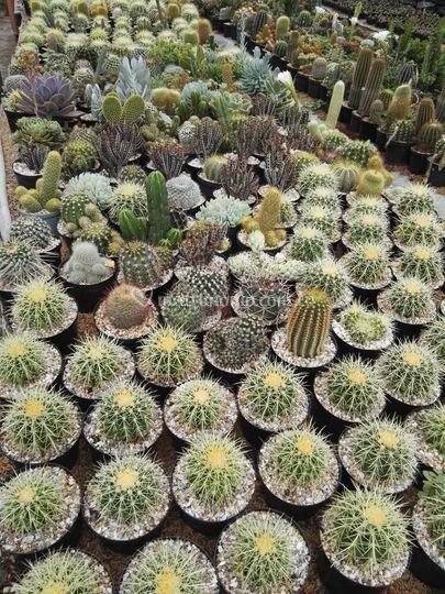 Cactus p10