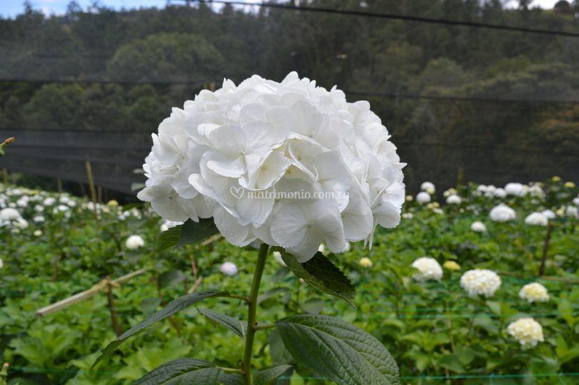 Tallo natural blanco