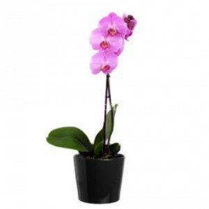 Orquídea Lila o Morada