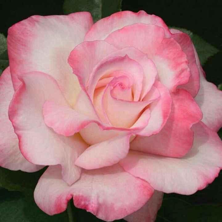 Inspiración flores color rosado - 7
