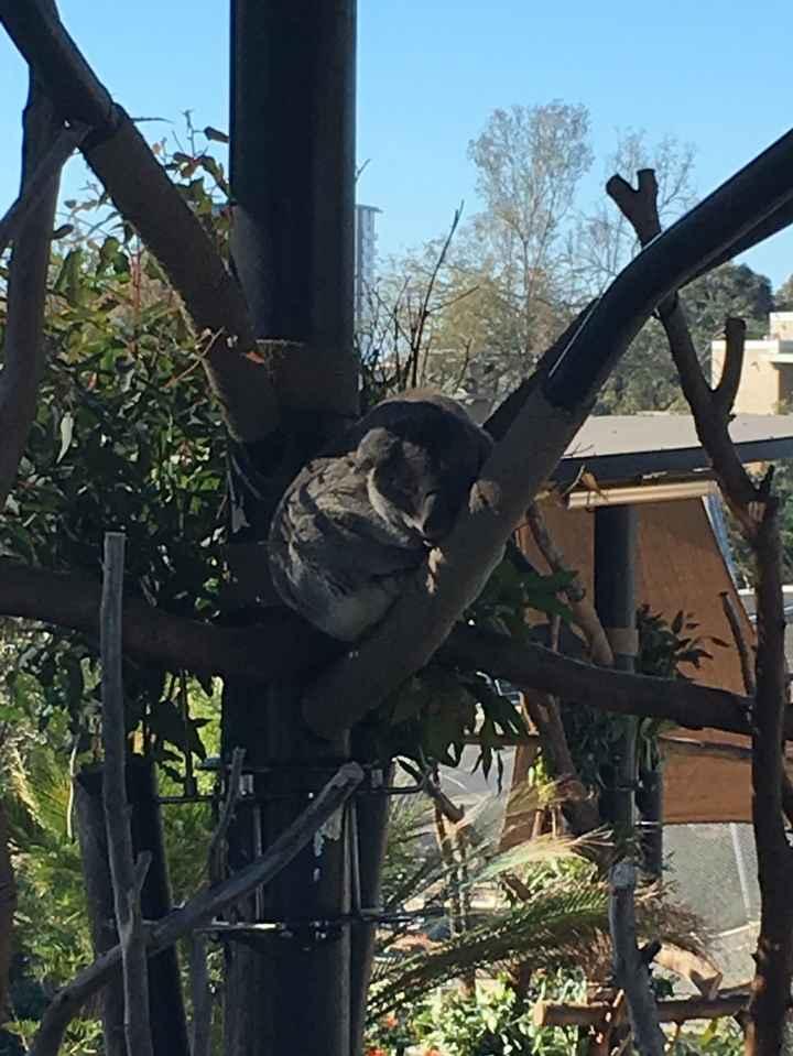 koala dormilon